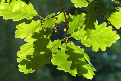 Eichenblätter im Gegenlicht
