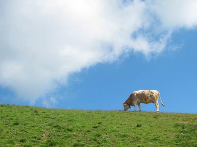 Glückliche Kuh auf der Weide