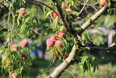Der Pfirsichbaum