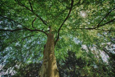 Baumkrone und Sonnenlicht -  HDR