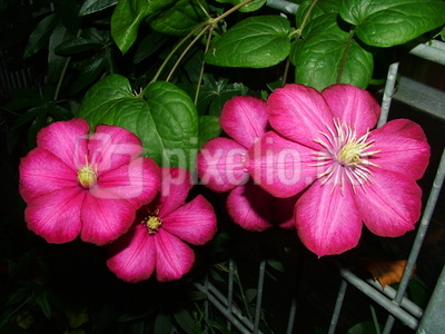 Clematis rot