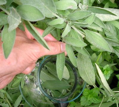 Blätter für Salbeitee