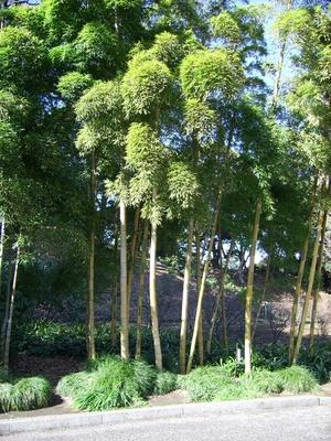 Bambus im Kaisergarten, Tokyo