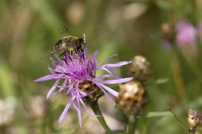 Mistbiene auf einer Rispenflockenblume