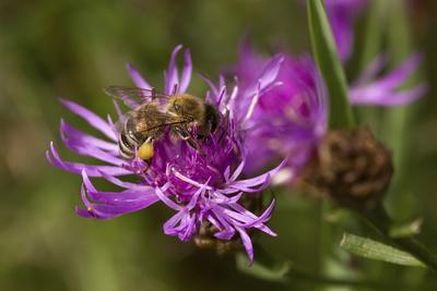 Honigbiene auf einer Rispen-Flockenblume