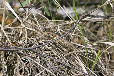 Kleine Waldeidechse