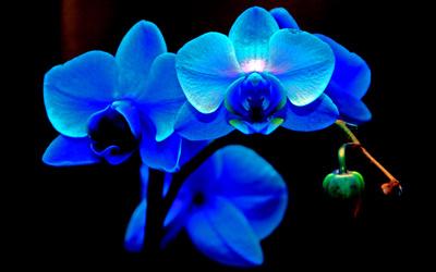 Blaue Orchideen 01