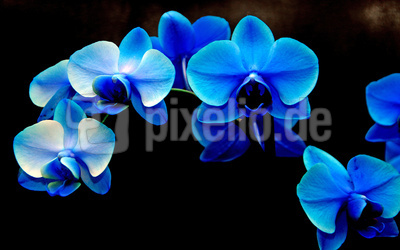 Blaue Orchideen 02