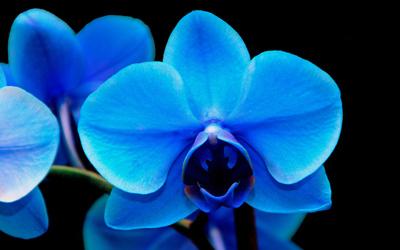 Blaue Orchideen 03