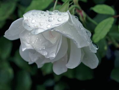Eine weiße Rose nach dem Regen