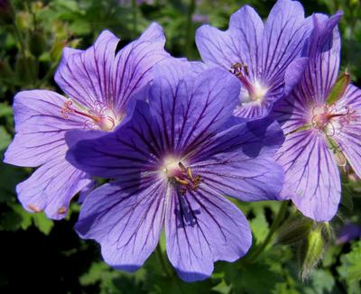 Blütenmakro in Lila