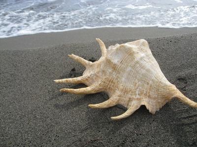 Weiße Muschel im schwarzen Sand
