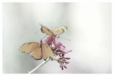 Schmetterlinge als FineArt