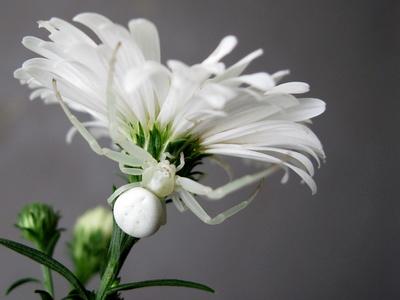 kleine weiße Spinne