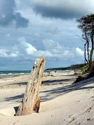 Tote Bäume am Weststrand in Fischland