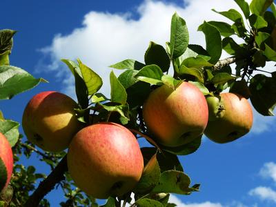 Äpfel - reif zur Ernte