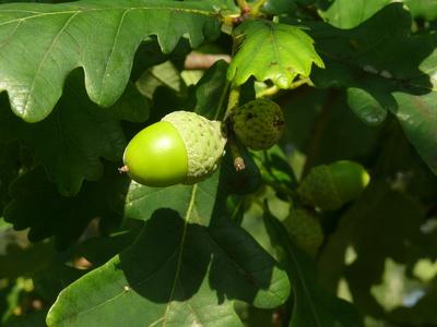Die Früchte der Eichen