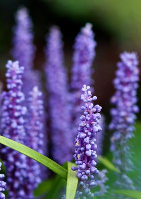 Die Lilientraube (Liriope)