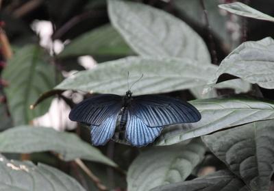 Krähen Schwalbenschwanz