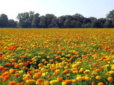 Blumenpracht auf dem Feld