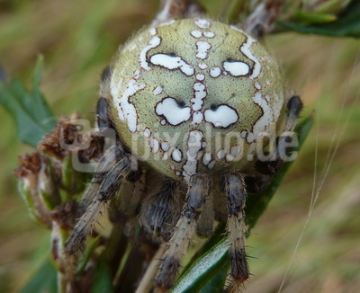 Fette, schön gezeichnete Spinne