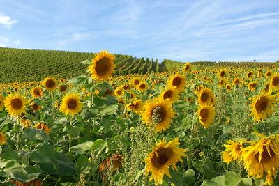 Weinberge und Sonnenblumenfeld