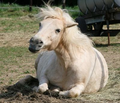 Kopfschüttelnes Pony