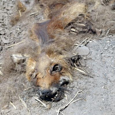 verwesender Fuchs