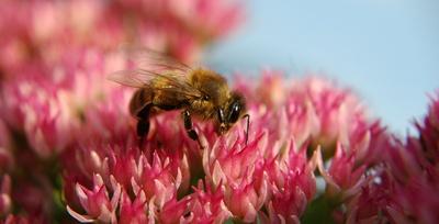 Bienenweide I