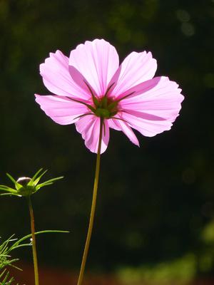 strahlender Blütensolist