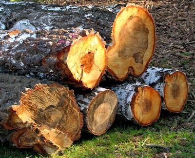 Abgeholzte Birkenstämme
