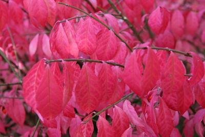 Herbstblätter rot