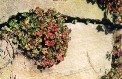 Die weiche Pflanze bricht den Stein...