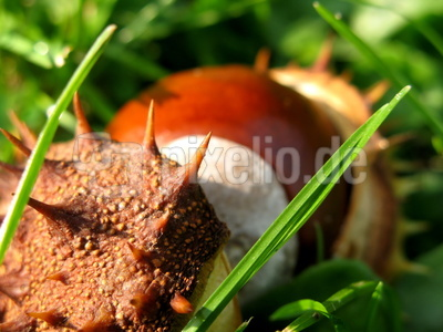 Frucht in Stachelhülle