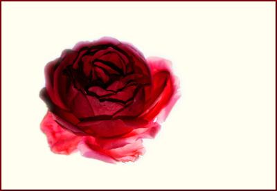 der letzten rose
