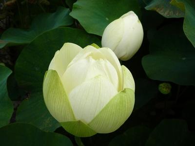 Lotusblume Botanischen Garten Bonn