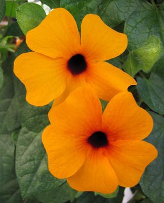 Fünfblättrige Blüten (Makro)