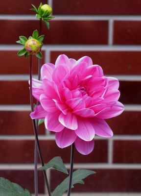 Dahlien-Blüte
