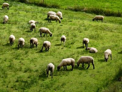 Schafe auf der Sommerweide