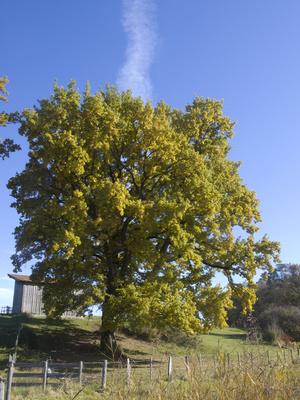 Herbststimmung rund um die Osterssen 18 - Der rauchende Baum