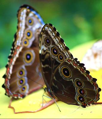 Schmetterlinge Pfauenauge