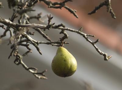 November-Birne