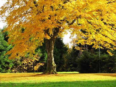 Linde im goldenen Herbstlaub