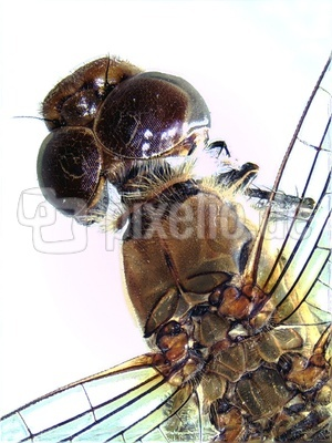 Libelle unter dem Stereomikroskop