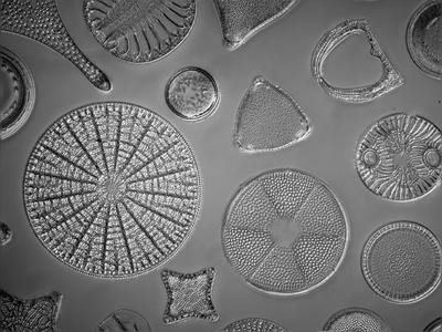 Diatomeenschalen unter dem Mikroskop