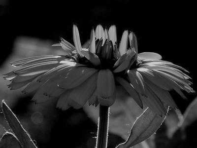 Blüte im Gegenlicht schwarz/weiss