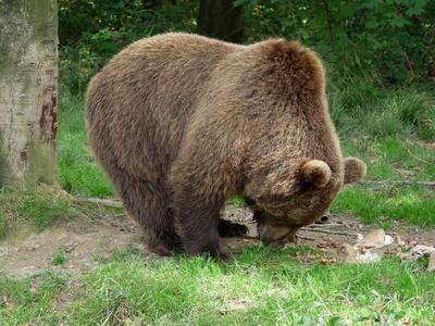 Bären im Wald 3
