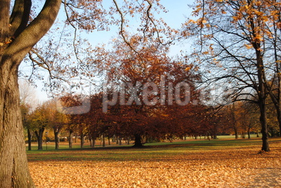 Rotbuche im Herbst