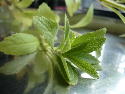 Stevia - Süßen auf die andere Art