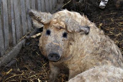 """Mangalitza auf deutsch """"Wollschwein"""""""